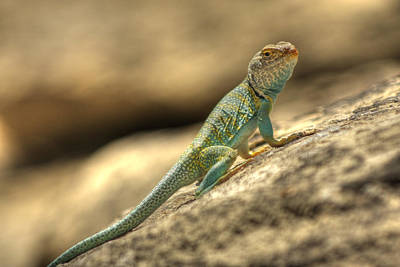 Collared Lizard Photograph - Collared Lizard by Allen Lefever