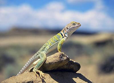 Collared Lizard Photograph - Collared Lizard Awaits by Buddy Mays