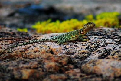 Collared Lizard Photograph - Collared Lizard by Dennis Nelson