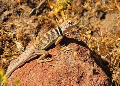 Photograph - Collared Lizard by Joshua Bales