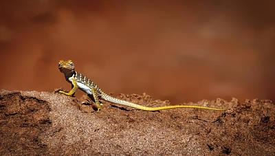 Collared Lizard Photograph - Collared Lizard by Neal Herbert