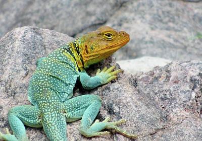 Collared Lizard Photograph - Collared Lizard On Rock by Gail Carravetta