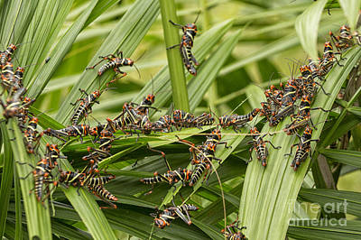 Photograph - Collared Lubber Grasshoppers by Patricia Hofmeester