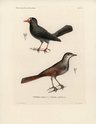 Drawing - Collared Palm Thrush And Chestnut-fronted Helmetshrike by J D L Franz Wagner