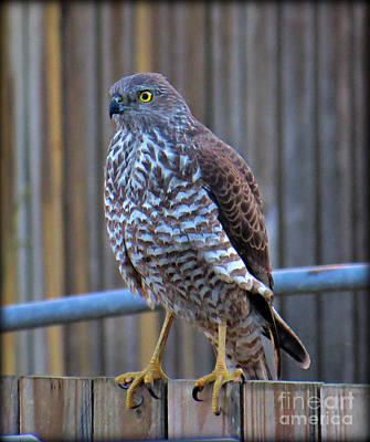 Sparrowhawk Photograph - Collared Sparrowhawk 2 by Evie Hanlon