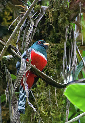 Photograph - Collared Trogon by Cascade Colors