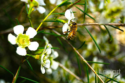 Australian Bees Photograph - Collecting Pollen by Cassandra Buckley