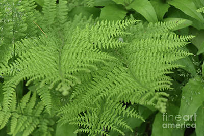 Photograph - Collection Of Marattiales Ferns In A Shade Garden by DejaVu Designs