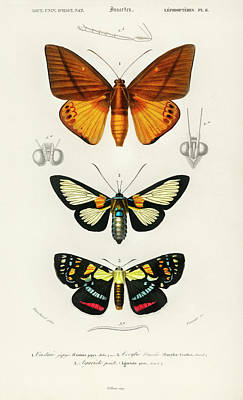 Painting - Collection Of Moths by Charles Dessalines D' Orbigny