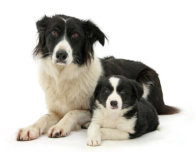 Photograph - Collie And Son by Warren Photographic
