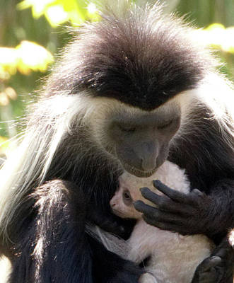 Photograph - Colobus Monkey And Child by Vincent Billotto