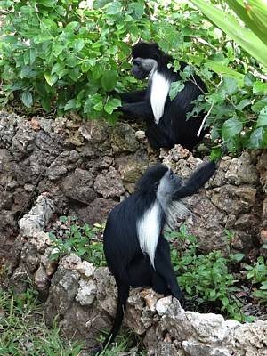 World Schooling Photograph - Colobus Monkey Eating Leaves For Breakfast by Exploramum Exploramum