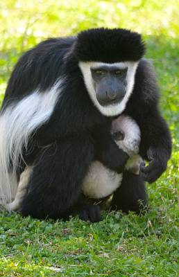 Photograph - Colobus Monkey With Baby by Richard Bryce and Family