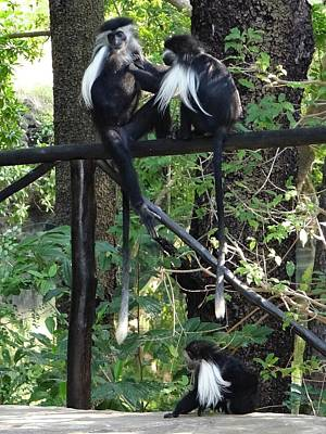 Exploramum Photograph - Colobus Monkeys Picking Fleas by Exploramum Exploramum
