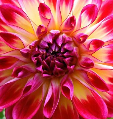 Photograph - Color Burst Dahlia  by Suzanne McDonald