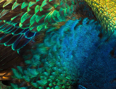 Photograph - Color Me Peacock by Cynthia Traun