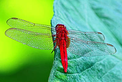 Dragonfly Photograph - Color Me Red - Dragonfly By H H Photography Of Florida by HH Photography of Florida