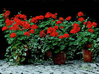 Photograph - Red Flower Geraniums Wall Art by Carol F Austin
