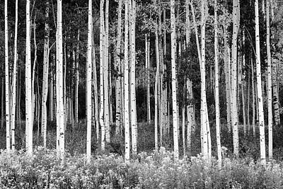 Photograph - Colorado Aspen - B/w by Michael Blanchette