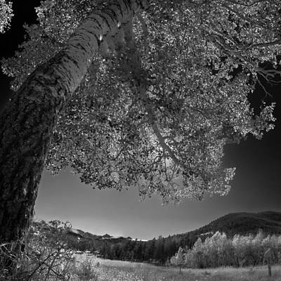 Photograph - Colorado Aspen Black And White by Dave Dilli