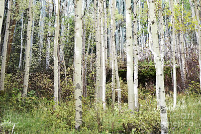 Photograph - Colorado Aspen Tree Grove Forest Landscape by Andrea Hazel Ihlefeld