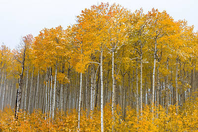 Photograph - Colorado Aspens by Chuck Jason