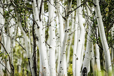 Photograph - Colorado Aspens by Dawn Romine