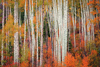 Photograph - Colorado Aspens by Johnny Adolphson