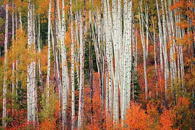 Colorado Aspens Art Print