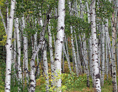 Photograph - Colorado Aspen's by Ronald Lutz