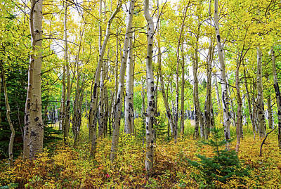 Photograph - Colorado Backcountry Forest by James BO Insogna