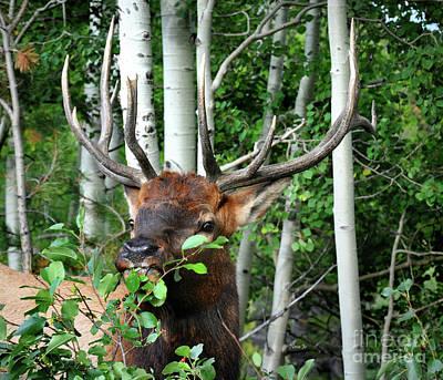 Photograph - Colorado Bull Elk by Nava Thompson