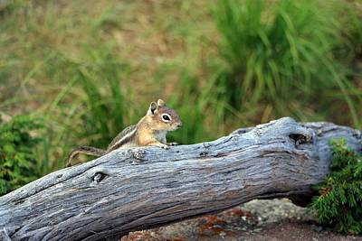 Photograph - Colorado Chipmunk by Pamela Critchlow