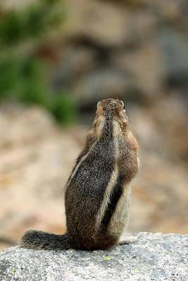 Photograph - Colorado Chipmunk - Viewing The Scenery by Pamela Critchlow