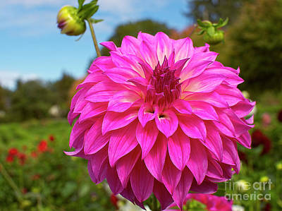 Photograph - Colorado Classic Dahlia by Sharon Talson