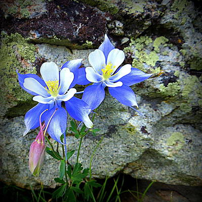 Colorado Columbines Art Print