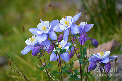 Photograph - Colorado Columbines by Kate Avery
