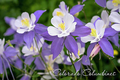 Photograph - Colorado Columbines by Teri Virbickis