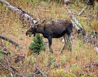 Photograph - Colorado Cow Moose by Ronald Lutz