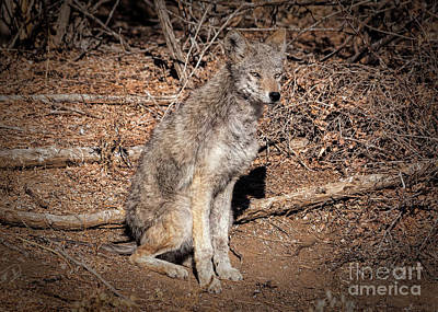Photograph - Colorado Coyote by Janice Rae Pariza