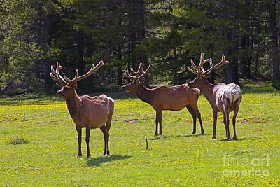 Colorado Elk Print by Rich Walter