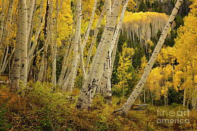 Photograph - Colorado Fall Aspen Grove by Ronda Kimbrow