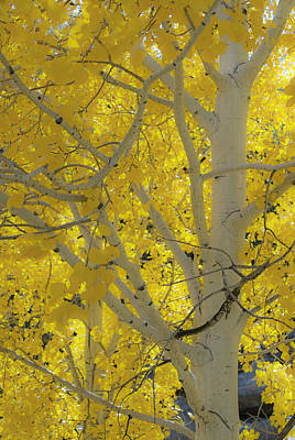 Photograph - Colorado Gold by Gary Lengyel