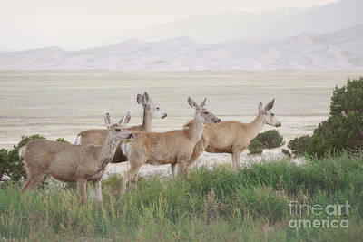 Photograph - Colorado Great Sand Dunes Field Deer Landscape by Andrea Hazel Ihlefeld