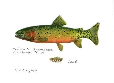 Animals Drawings - Colorado Greenback Cutthroat Trout by Daniel Lindvig