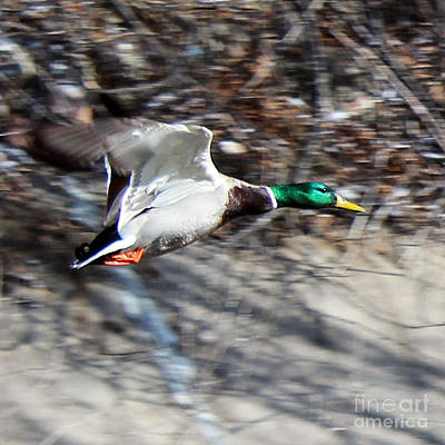 Photograph - Colorado Mallard In Flight by Arizona  Lowe