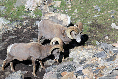 Photograph - Colorado Rams by Shane Bechler