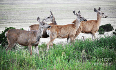 Photograph - Colorado Rustic Deer Landscape by Andrea Hazel Ihlefeld