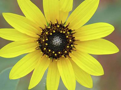 Photograph - Colorado Sunflower 01 by Pamela Critchlow