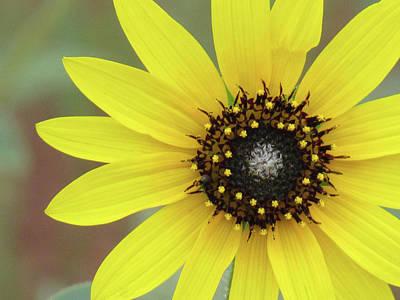 Photograph - Colorado Sunflower 02 by Pamela Critchlow